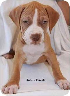 Shar Pei/Staffordshire Bull Terrier Mix Puppy for adoption in Gilbert, Arizona - Julie