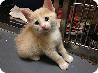 Domestic Shorthair Kitten for adoption in Chicago, Illinois - Dorothy