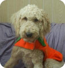 Labradoodle Dog for adoption in Antioch, Illinois - Larry ADOPTION PENDING!!