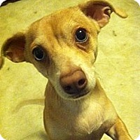 Dachshund/Chihuahua Mix Dog for adoption in Irmo, South Carolina - Rocky