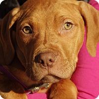 Adopt A Pet :: Darius - Reisterstown, MD