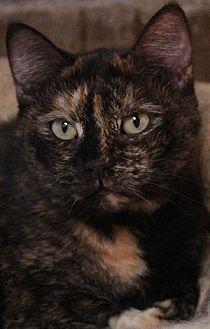 Domestic Shorthair Cat for adoption in Savannah, Missouri - Janie