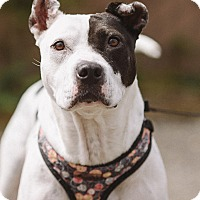 Adopt A Pet :: Cheri (foster) - Portland, OR