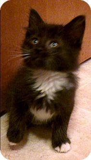 Domestic Shorthair Kitten for adoption in Wamego, Kansas - Rufus