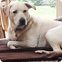 Adopt A Pet :: Sylvester - Mt. Prospect, IL