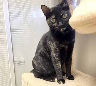 Domestic Shorthair Cat for adoption in Creston, British Columbia - Muffin