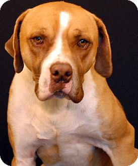 Boxer/Pit Bull Terrier Mix Dog for adoption in Newland, North Carolina - Leo