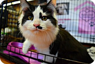 Domestic Mediumhair Kitten for adoption in Toronto/GTA, Ontario - WOOZIE