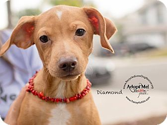 Dachshund/Terrier (Unknown Type, Small) Mix Puppy for adoption in Inland Empire, California - DIAMOND