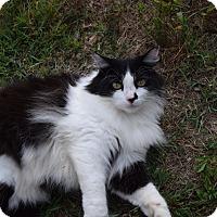 Adopt A Pet :: Ami - Clarksville, TN