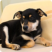 Shepherd (Unknown Type) Mix Puppy for adoption in Los Angeles, California - Babette