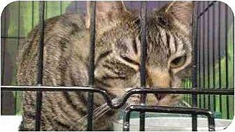 Domestic Shorthair Cat for adoption in Chino, California - Pepita