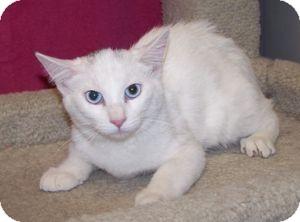 Domestic Shorthair Kitten for adoption in Colorado Springs, Colorado - K-Emery5-Mariam