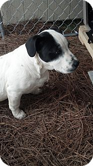 Great Dane Mix Puppy for adoption in Woodlawn, Tennessee - Nash