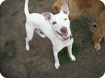 Australian Kelpie Mix Dog for adoption in Bellingham, Washington - Joey