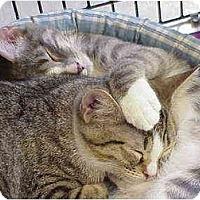 Adopt A Pet :: Purrier & Ives - Deerfield Beach, FL