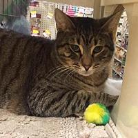Domestic Shorthair Cat for adoption in Atlanta, Georgia - Sweetie