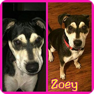 Coonhound (Unknown Type) Mix Dog for adoption in Mesa, Arizona - Zoey