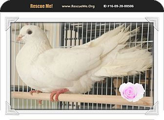 Pigeon for adoption in Los Angeles, California - Saxxy