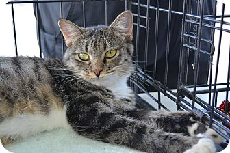 Domestic Shorthair Cat for adoption in Ogden, Utah - Kiki