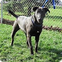 Australian Cattle Dog/Labrador Retriever Mix Dog for adoption in Van Wert, Ohio - Sheena