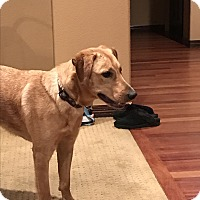 Adopt A Pet :: Latke - Evergreen, CO