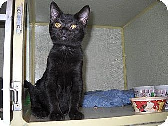 Domestic Shorthair Cat for adoption in Iroquois, Illinois - Geisha