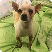 Adopt A Pet :: Papi - Knoxville, TN