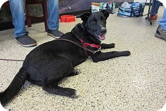 Newfoundland Mix Puppy for adoption in New Richmond,, Wisconsin - Armani
