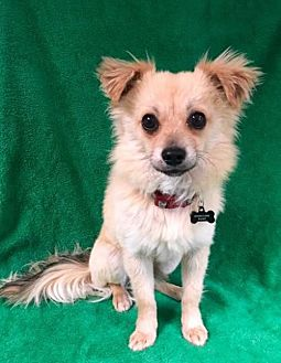 Pomeranian/Chihuahua Mix Dog for adoption in Alta Loma, California - Spencer