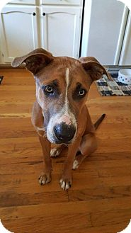 Boxer/Husky Mix Puppy for adoption in Columbus, Ohio - Baxter
