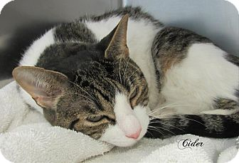 Domestic Shorthair Cat for adoption in Jackson, New Jersey - Cider