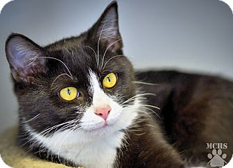 Domestic Shorthair Cat for adoption in Martinsville, Indiana - Mr. President