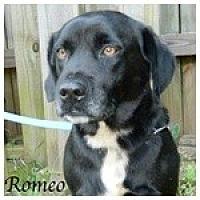 Labrador Retriever Mix Dog for adoption in Newnan, Georgia - Romeo