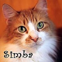 Domestic Longhair Cat for adoption in Wichita Falls, Texas - Simba