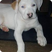 Adopt A Pet :: Banan - Bernardston, MA