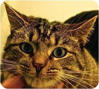Domestic Shorthair Cat for adoption in Fairfax Station, Virginia - Poseidon the Pouncer