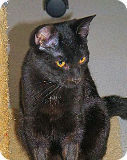 American Shorthair Kitten for adoption in Victor, New York - Darwyn