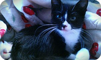 Domestic Mediumhair Kitten for adoption in Scottsdale, Arizona - Harvey-courtesy post