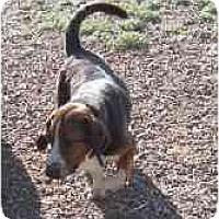 Adopt A Pet :: Levi - Albuquerque, NM