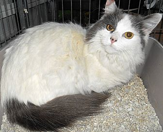 Turkish Van Cat for adoption in Chattanooga, Tennessee - Gisele
