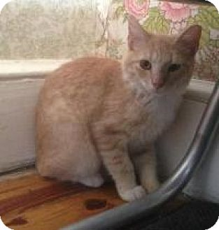 Domestic Shorthair Cat for adoption in Medford, New Jersey - Sweety (Jeannie's Kittens)