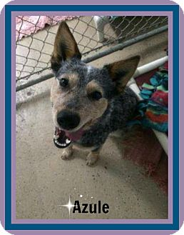 Blue Heeler Mix Puppy for adoption in New Richmond,, Wisconsin - Azule