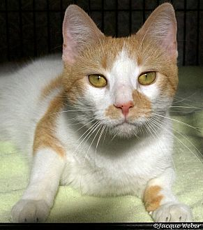 Domestic Shorthair Cat for adoption in St Louis, Missouri - Tolstoy