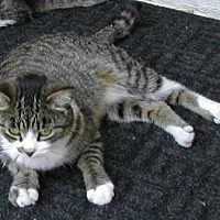 Domestic Shorthair Cat for adoption in Naples, Florida - Anna