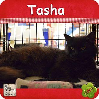Domestic Longhair Cat for adoption in Washington, Pennsylvania - Tasha