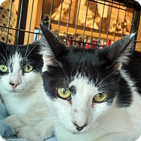 Adopt A Pet :: Tom (Foster) - Exton, PA