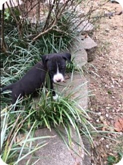 Pit Bull Terrier/Boxer Mix Puppy for adoption in Hagerstown, Maryland - Olive (ETAA)