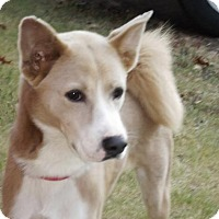 Akita Mix Dog for adoption in Oxford, Mississippi - Boots