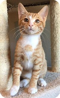 Domestic Shorthair Kitten for adoption in Fort Worth, Texas - Lenny